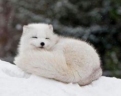 FluffyWhiteFox