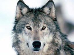Novelwolf2