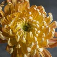 chrysanthemum enthusiast